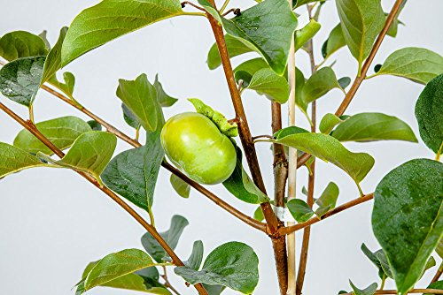 FUYU ASIAN PERSIMMON - Size: 5-6 ft, live plant, includes special blend fertilizer & planting guide by PERFECT PLANTS (Image #4)