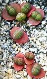 Pleiospilos Simulans, rare succulent mesembs rock living stones seed 20 SEEDS