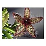 Stapelia gettleffii - Carrion flower - 3 seeds
