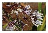 Berkheya purpurea - purple berkheya - 10 seeds