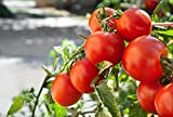 Marglobe Tomato 500+Seeds, Premium Heirloom Seeds, Top Selling Tomato Seeds, (Isla's Garden Seeds), Non Gmo Organic Survival Seeds, 90% Germination, Highest Quality