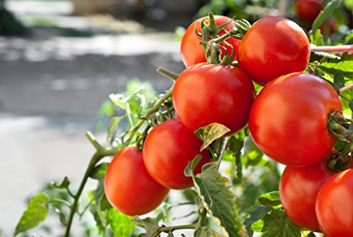 Marglobe Tomato 500+Seeds, Premium Heirloom Seeds, Top Selling Tomato Seeds, (Isla's Garden Seeds), Non Gmo Organic Survival Seeds, 90% Germination, Highest ()