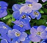 Rockcress Cascading Blue Flower Seeds (Aubrieta Hybrida) (100)