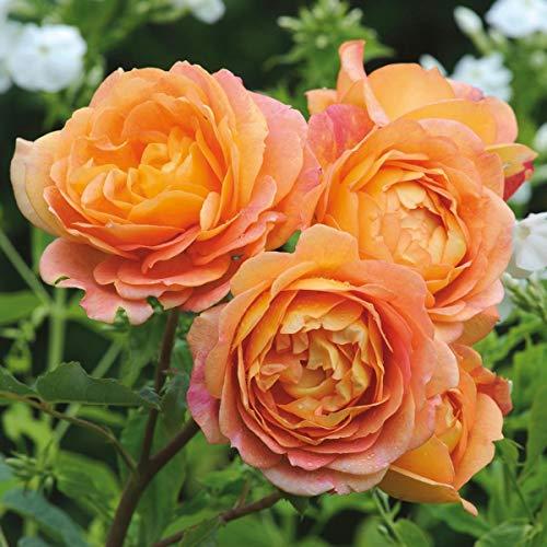 David Austin English Roses Lady of Shallot by David Austin English Roses (Image #1)