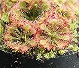 HIGH Germination Seeds:Two Drosera spatulata Spoon Leafed Sundew Carnivorous Plant