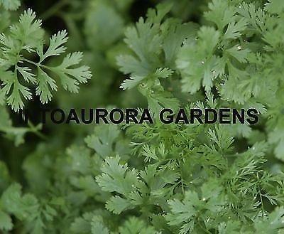 50 Cilantro Coriander Seeds Herb Spice Non-gmo