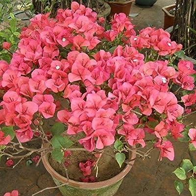 AGROBITS 10pcs Mix-Color Bougainvillea Spectabilis Willd Bonsai Bonsai Flower Plant Bonsai: 21: Home & Kitchen