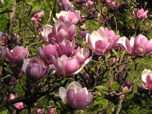 - Saucer Magnolia 'Magnolia Soulangeana' - 2 ft Tall Tree/Shrub - One Gallon Healthy Potted Plant - 1 Plant by Growers Solution