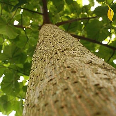 BEAUTIFUL PAULOWNIA TREE Paulownia Elongata ~ 100+ SEEDS : Garden & Outdoor