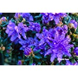9cm Pot Dwarf Rhododendron Impeditum Blue Purple Flowers Garden Shrub Plant