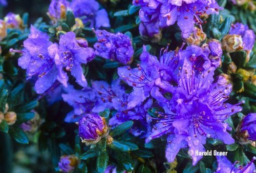 9cm Pot Dwarf Rhododendron Impeditum Blue Purple Flowers Garden Shrub Plant B&R Direct