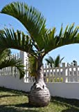 TROPICA - Bottle Palm (Hyophorbe lagenicaulis) - 3 Seeds - Palms