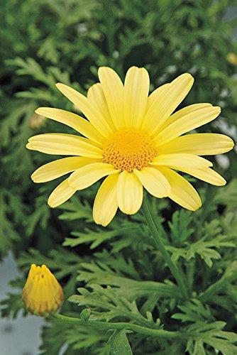Marguerite Daisy - 100 Seeds - Marguerite Daisy- Yellow