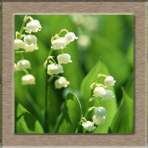free ship Lily of the Valley flower seeds, bell orchid seeds, rich aroma, bonsai flower seed, multi-colored orchids-40 seeds (Ship Free Orchids)