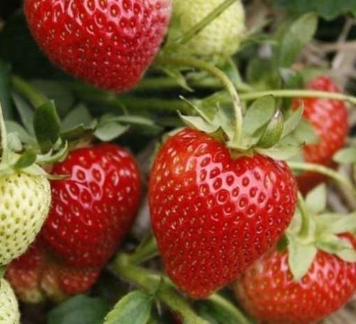 10 Jewel Strawberry Plants-Superb Quality and Flavor Free ()