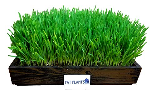 FATPLANTS Complete Organic Wheatgrass Kit in Cedar Planter, Organic Soil, Seeds and Instructions (Large, Wicker Brown)