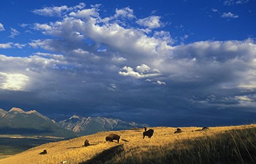 Panorama Landscape (LAMINATED 33x21 inches POSTER: Buffalo Herd Animals Mammals Panorama Landscape Scenic Prairie Grassland Clouds Sky Beasts Icon Horns Fur Brown Food Meat Healthy Steaks Graze National Bison Range)