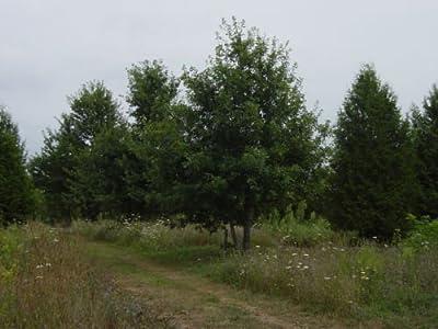 """ENGLISH OAK TREES Quercus robur 6-12"""" LOT OF 4"""
