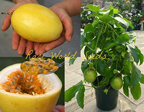 VISTARIC Giant Yellow Passion Fruit! (Passiflora Edulis VAR Flavicarpa) Seeds