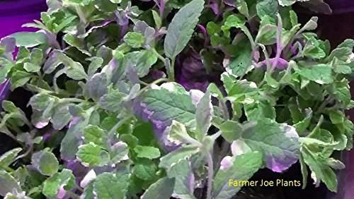 PINEAPPLE MINT - HERB - GREAT FOR COOKING - PLUGS - 50 PLANTS
