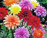 DAHLIA, ROOT, DINNERPLATE MIX, PACK OF 5 (FIVE), EASY TO GROW, DAHLIAS, DAHLIA BULB