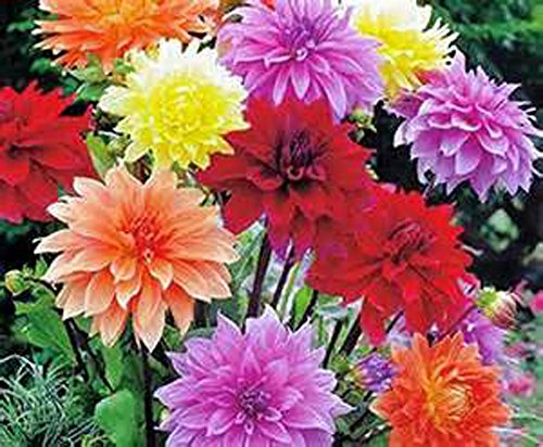 (DAHLIA, ROOT, DINNERPLATE MIX, PACK OF 5 (FIVE), EASY TO GROW, DAHLIAS, DAHLIA)