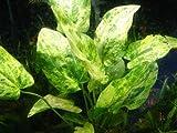 Marble Queen (Echinodorus cordifolius) - Beginner Tropical Live Aquarium Freshwater Plant