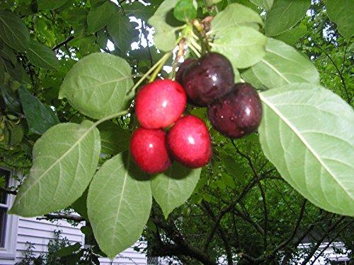 1 BING CHERRY **1 FT** FLOWERING FRUIT TREES LIVE PLANTS