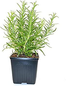 Amazon Com Live Rosemary And Sage Plant Set Of 2 Hardy Herb