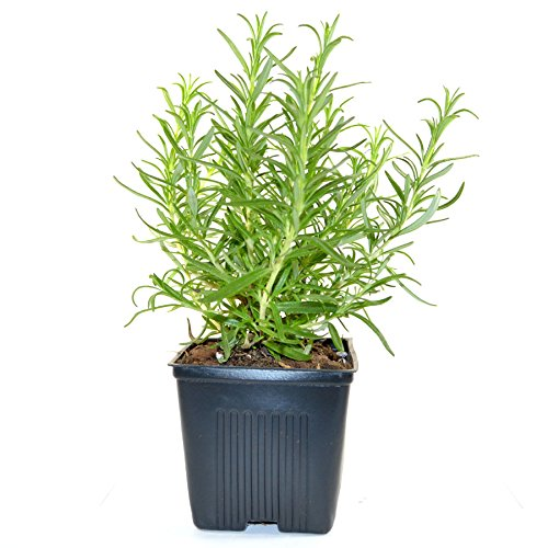 (Stargazer Perennials Rosemary Herb Plant Hardy Rosemary Grown Organic USA Great Container Herb)
