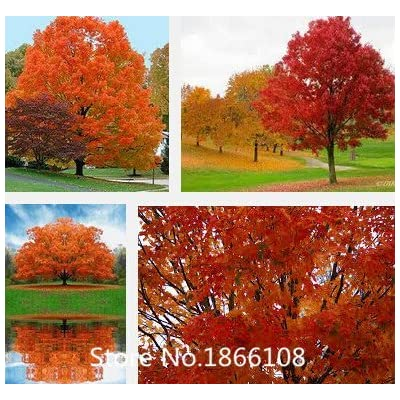 home & garden 50 SEEDS/PACK JAPANESE RED MAPLE TREE WITH HERMETIC PACKAGE VERY BEAUTIFUL JAPAN MAPLE NEW SEEDS PLUS MYSTER : Garden & Outdoor