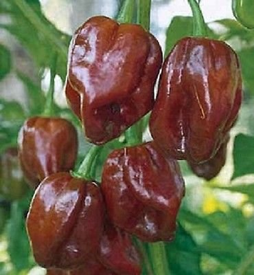 - 25 seeds of HABANERO JAMAICAN HOT CHOCOLATE PEPPER SEEDS HABANERO PEPPER