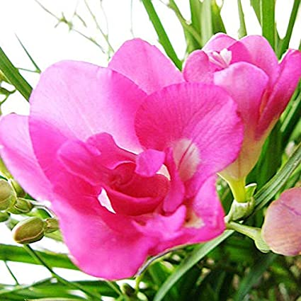 Amazon beautiful pink freesia bulbs of 5 bulbs beautiful garden beautiful pink freesia bulbs of 5 bulbs beautiful garden house elegant great flowers bonsai mightylinksfo