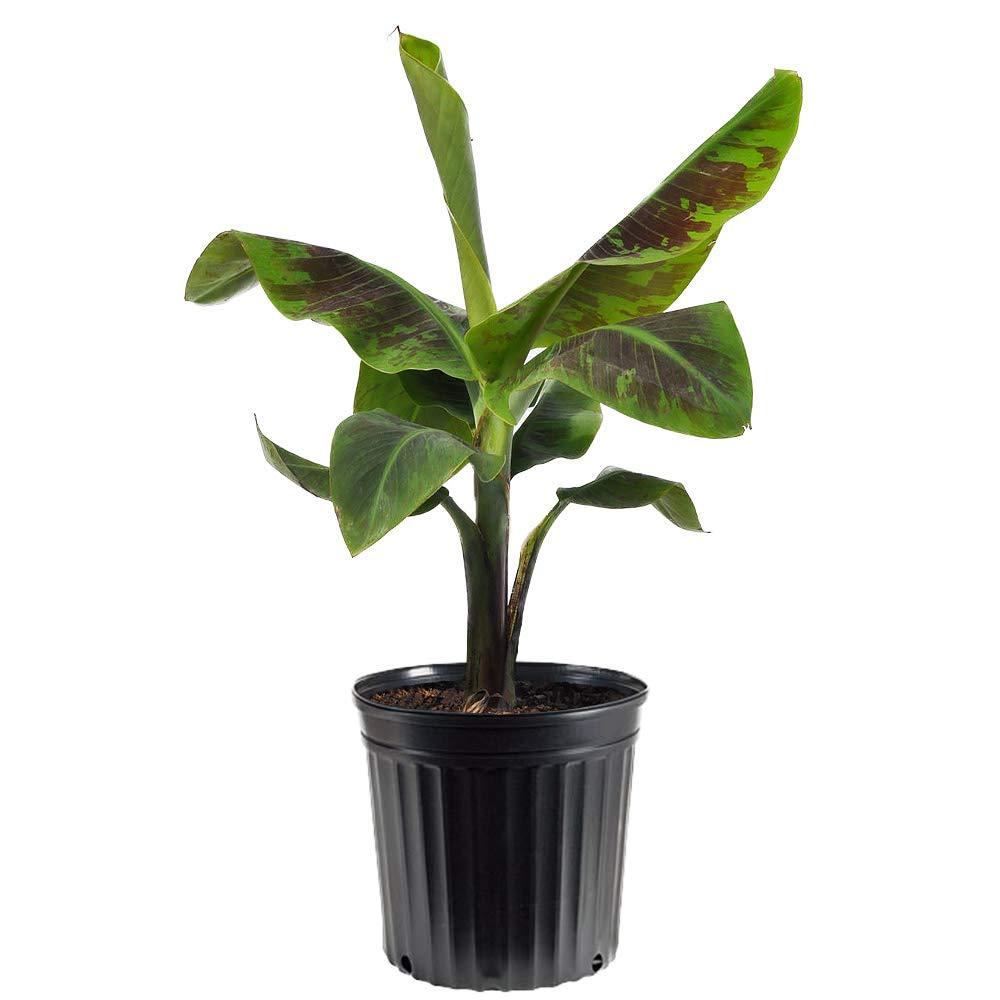 AMERICAN PLANT EXCHANGE Dwarf Cavendish Banana Tree Indoor/Outdoor Air Purifier Live Plant, 3 Gallon, Fruit Producing! by AMERICAN PLANT EXCHANGE