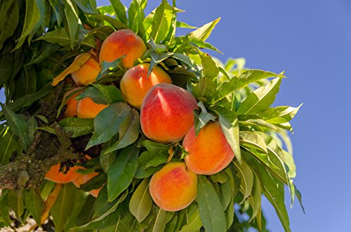 Empress Peach Tree - Prunus persica 'Parade' - Dwarf - Healthy - Established - One Gallon Trade Potted - 1 Each by Growers Solution