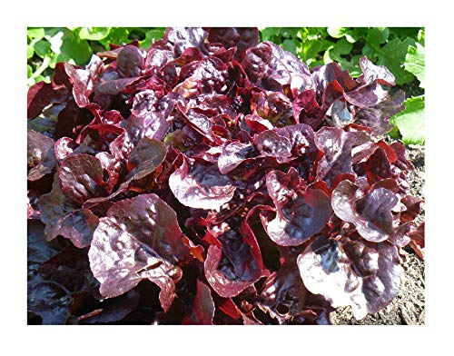 (David's Garden Seeds Lettuce Red Salad Bowl SL8441 (Red) 500 Non-GMO, Heirloom, Organic Seeds)