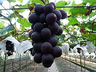 Organic 5 Seeds Taiwan Kyoho Grapes Seeds Rare Deep Purple Sweet Vine Plant Seeds