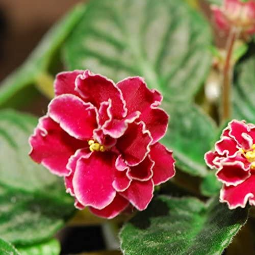 100 PCS Rojo Violeta Semillas plantas del jardín de las semillas de flor en maceta Violeta perenne hierba matthiola Incana Semillas: Amazon.es: Jardín