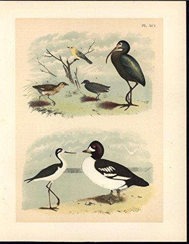 Warbler Antique - Bay Ibis Black Necked Stilt Warbler 1895 antique color lithograph Avian print
