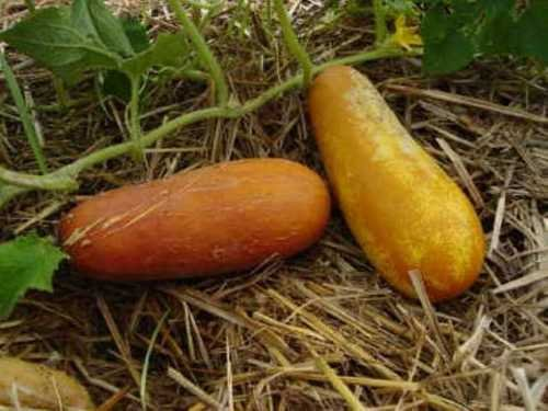 25-seeds-poona-kheera-slicing-cucumber-og-its-different-and-very-tasty