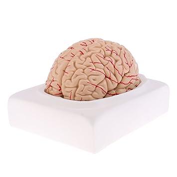 Homyl Medizinische Lernwerkzeug - 1: 1 Entfernbar Menschliches ...