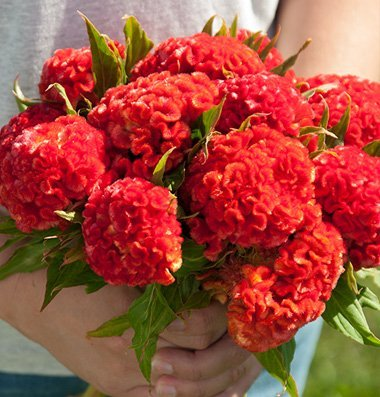 Legend Online Garden Seeds Flower Celosia Chief Persimmon DGS1990PV (Red) 100 Open Pollinated Seeds