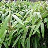 Box of 5 Indocalamus Tessellatus, Cold Hardy Tropical Bamboo Plant.