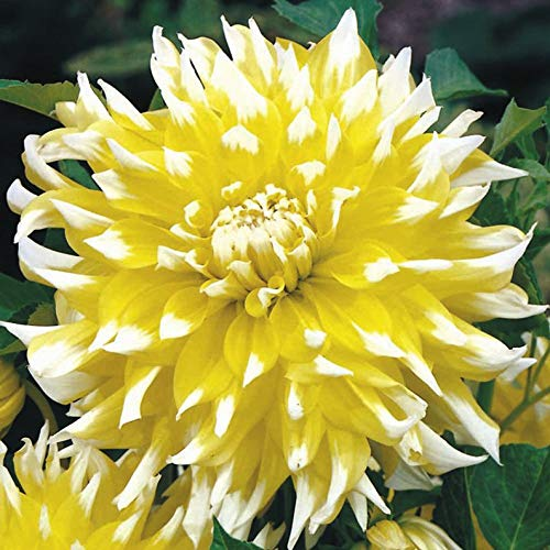 - kakroz Dinner Plate Dahlia Grand Prix,Dinner Plate Dahlia Tubers, Great Cut Flowers,Blooms Summer to Fall (10 Bulb/Tuber)
