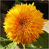 Package of 100 Seeds, Tall Teddy Sunflower (Helianthus annuus) Non-GMO Seeds by Seed Needs