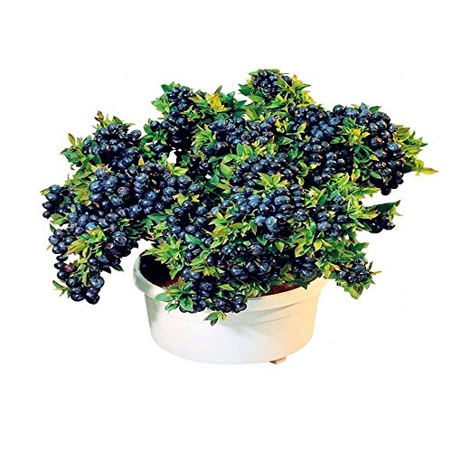 - Bornbayb Blueberry Seeds Bonsai Fruit Seed for Indoor Outdoor Planting, 100Pcs/Set