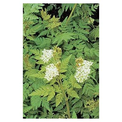 Caraway Great Herb 300 Seeds : Flowers : Garden & Outdoor
