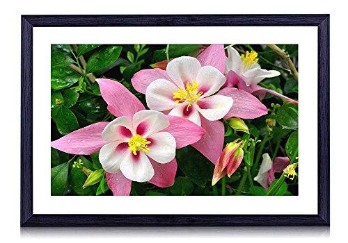 (Columbine - Flower - #28787 - Art Print Black Wood Framed Wall Art Picture (16x12 inches Framed))