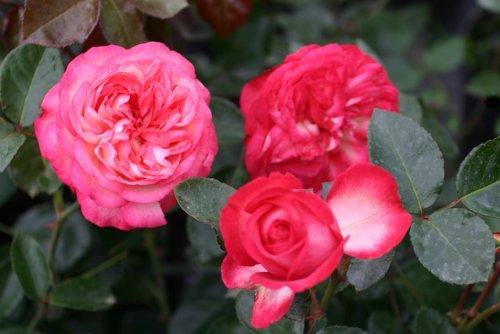 Antike 89® - Container Rose im 5 ltr. Topf