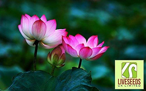- Liveseeds - Bowl lotus/water lily flower /bonsai Lotus /Two Colours /5 Fresh seeds/Purple Lips Lotus